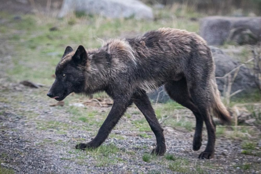 First Week of Montana's Hunting Season Ends With the Killing of Three Yellowstone Wolves