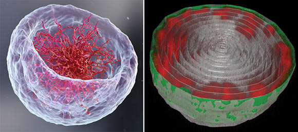 New Images Reveal 3D Chromatin Organization in Live Cell Nuclei