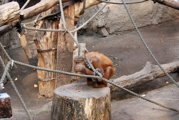 Orangutans Observed Using Hammer Tools to Crack Nuts