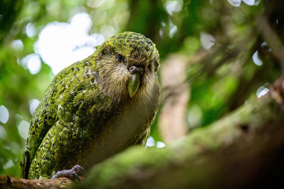 Scientists Sequence Genome of Kakapo Parrot