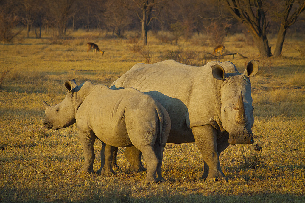 Stem cells may be the key to saving white rhinos from extinction
