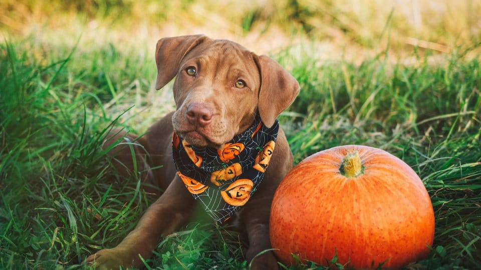 The 13 Best Halloween Bandanas, Shirts and More for Dogs in 2021