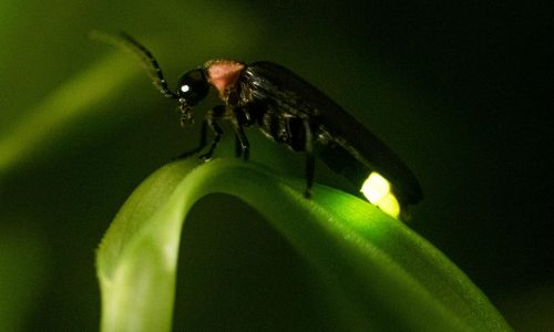 Searching for the first light of fireflies