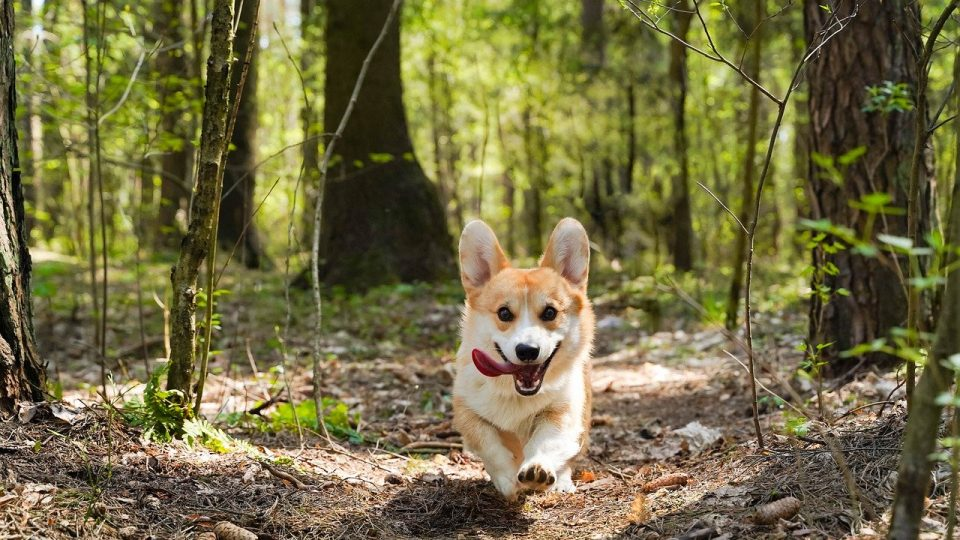 The 5 Best Harnesses for Corgis