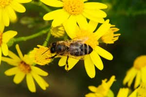 Waggle dances show city bees have shorter commutes than country bees